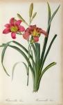 Hemerocallis Fulva Print by Pierre Joseph Redoute