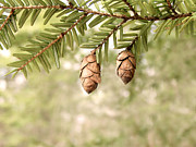 Northwoods Photos - Hemlock Cones by Angie Rea