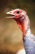 Turkey Posters - Hen Turkey Portrait Poster by Science Source