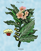 Woodcuts Digital Art - Henbane by Ziva