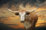 Sunset Prints - Henly Longhorn Print by Robert Anschutz