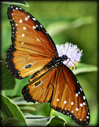 Queen Butterfly Posters - Her Majesty.. the Queen  Poster by Saija  Lehtonen