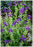 Blue Flowers Photos - Herb Garden Blue by Carol Groenen