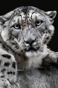 Snow Leopard Framed Prints - Hercules Framed Print by Big Cat Rescue