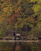 Boxley Valley Prints - Herd Bull Crossing the Buffalo River Print by Michael Dougherty