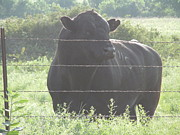 Black Angus Prints - Herd Master 1 Print by Aaron Moore