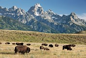 Bison Photos - Herd Of American Bison by Bob Gibbons