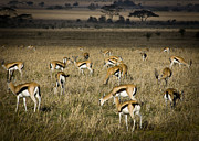 Gazelle Framed Prints - Herd of Antelope Framed Print by Darcy Michaelchuk