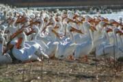 Herd Of Pelicans Print by Shari Morehead