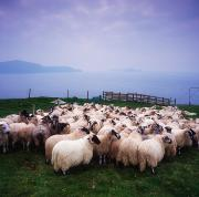 The Economy Art - Herding Sheep, Inishtooskert, Blasket by The Irish Image Collection