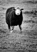 Mono Framed Prints - Herdwick Sheep Framed Print by Meirion Matthias