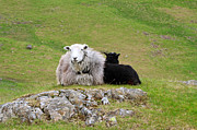 Lakeland Framed Prints - Herdwick sheep on a hillside in Cumbria Framed Print by Louise Heusinkveld