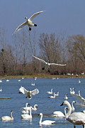 Flying Swan Photos - Here come the swans by Bill Lindsay