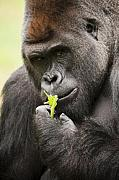 Gorilla Photos - Here is looking at You. by Chad Davis