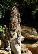 Jaguars Acrylic Prints - Here Kitty Kitty Acrylic Print by Sabrina L Ryan