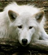 Pretty Markings On Wolf Prints - Here S Looking At You Print by Debra     Vatalaro