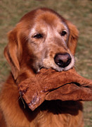 Irish Setter Framed Prints - Here To Serve Framed Print by Skip Willits