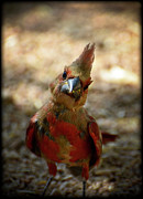 Red Cardinal Prints - Heres Looking at Ya Print by Saija  Lehtonen