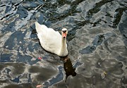 White Swan Photos - Heres Looking at You by Dean Harte