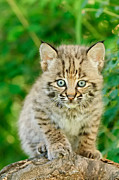 Bobcat Kitten Framed Prints - Heres Looking At You Framed Print by Jeff Wendorff