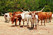 Longhorn Photo Metal Prints - Heritage Herd 2011 Metal Print by Toni Hopper