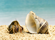 Home Ownership Framed Prints - Hermit Crab Looking At Larger Shell Framed Print by Jeffrey Hamilton