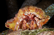 Crustacean Art - Hermit Crab Tucked Away by Terry Moore