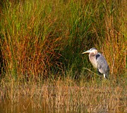 Gbh Posters - Heron and Grass Poster by Rrrose Pix