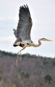 Heron Photos - Heron Ballet by Emily Stauring