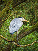 Grey Heron Framed Prints - Heron Framed Print by Barry Teutenberg