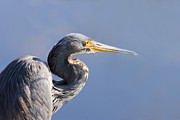 Heron Photos - Heron Blues by Mike  Dawson