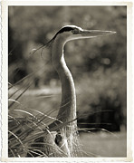 Great Blue Heron Black And White Posters - Heron Poster by Brian Grady