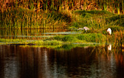 Louisiana Heron Prints - Heron Egret and Gator Print by Steven Sparks