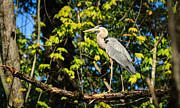 Heron Photos - Heron by Everet Regal
