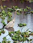 Heron Fishing In The Everglades Print by Marty Koch