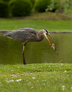 Catfish Photos - Heron Flipn Catfish by Reflective Moments  Photography and Digital Art Images