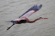 Herons Photos - Heron Fly By by John King
