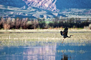 Flood Photo Prints - Heron In Flight Print by Harpazo_hope