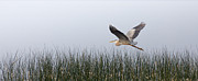 Shore Bird Originals - Heron in flight by Michel Soucy