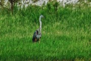 Field Digital Art Originals - Heron in the Grasses by Michael Thomas