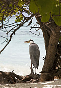 Maldives Framed Prints - Heron Framed Print by Jane Rix