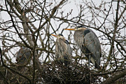 Grey Heron Prints - Heron Nest Print by David  Naman