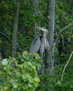 Blue Pyrography - Heron on a limb by Shirley Tinkham