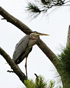 Great Birds Prints - Heron on High Print by Al Powell Photography USA