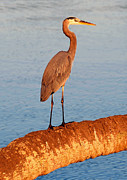 Florida Wildlife Photography Posters - Heron on palm Poster by David Lee Thompson
