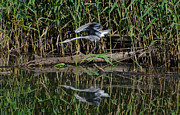 Wild Wings Metal Prints - Heron reflected in the water Metal Print by Mats Silvan
