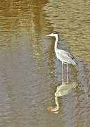 Seabirds Metal Prints - Heron Metal Print by Sharon Lisa Clarke