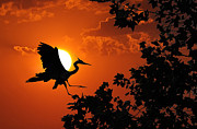Landing Digital Art Framed Prints - Heron Sunset Framed Print by Wade Aiken