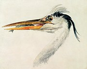 Head Framed Prints - Heron with a Fish Framed Print by Joseph Mallord William Turner