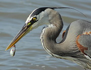 Fish Art Photos - Heron With Bleeding Shad by Robert Frederick
